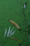 Foglie del salice che galleggiano nel verde Immagini Stock Libere da Diritti