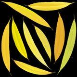 Foglie del salice di autunno su un fondo nero Immagini Stock Libere da Diritti