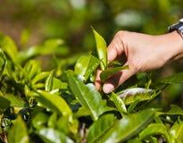 Foglie del tè di raccolto. Fotografie Stock Libere da Diritti