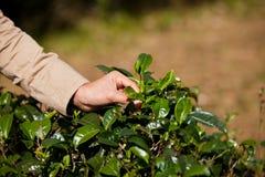 Foglie del tè di raccolto. Fotografia Stock Libera da Diritti