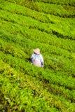 Foglie del tè di raccolto dell'agricoltore in Cameron Highlands Fotografia Stock Libera da Diritti