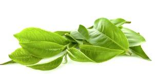 Foglie del tè su fondo bianco immagini stock libere da diritti