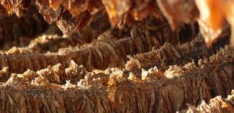 Foglie del tabacco Fotografia Stock Libera da Diritti