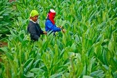 Foglie del tabacco più havest dei lavoratori in Tailandia Immagine Stock
