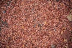 Foglie del tamarindo Immagine Stock