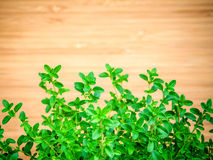 Foglie del timo del limone del primo piano dall'orto domestico Citriodo del timo Immagini Stock Libere da Diritti