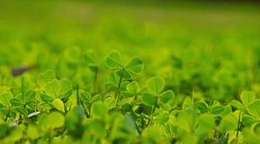 Foglie del trifoglio della primavera in erba verde Fotografia Stock Libera da Diritti