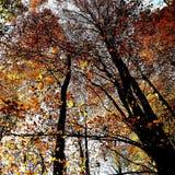 Foglie del umber e dell'ambra che cadono dagli alberi a Nunburnholme Yorkshire orientale Inghilterra fotografie stock