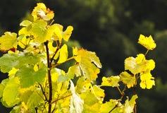 Foglie del vino Immagine Stock
