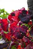 Foglie del vino Fotografie Stock