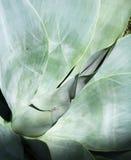 Foglie dell'agave Fotografia Stock Libera da Diritti