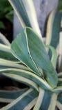 Foglie dell'agave barrate Fotografie Stock