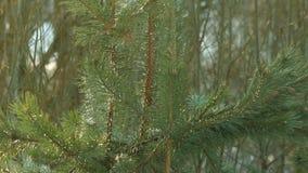 Foglie dell'ago del pino Priorità bassa della natura Inverdica le filiali del pino Fondo del pino video d archivio