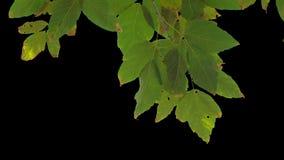 Foglie dell'albero dell'alfa canale stock footage
