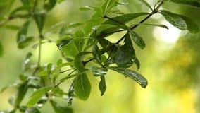 Foglie dell'albero con le gocce di pioggia, chiangmai Tailandia archivi video