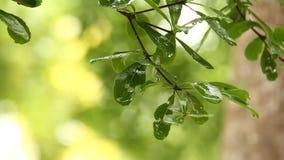 Foglie dell'albero con le gocce di pioggia, chiangmai Tailandia stock footage