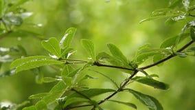 Foglie dell'albero con le gocce di pioggia, chiangmai Tailandia video d archivio