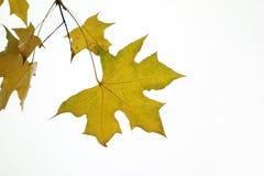 Foglie dell'albero del parasole Fotografia Stock