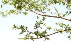 Foglie dell'albero della guaiava ed il chiaro cielo fotografie stock