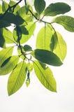 Foglie dell'albero della primavera Immagine Stock