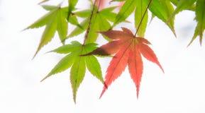 Foglie dell'albero di acero giapponese illuminate da luce solare su fondo bianco Fotografia Stock