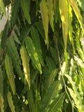 Foglie dell'albero di Ashoka Fotografie Stock