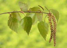 Foglie dell'albero di betulla fotografia stock