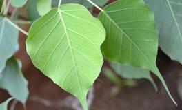 Foglie dell'albero di Bodhi Fotografia Stock