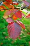 Foglie dell'albero di cachi sul ramo in autunno Immagini Stock Libere da Diritti