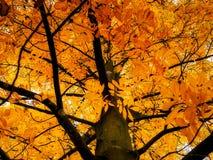 Foglie dell'albero di Cordiformis del Carya che cambiano colore Immagini Stock Libere da Diritti