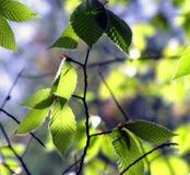 Foglie dell'albero di faggio alla luce Immagini Stock