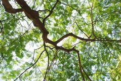 Foglie dell'albero di fiamma Fotografie Stock Libere da Diritti