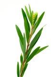 Foglie dell'albero di salice. Immagine Stock