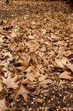 Foglie dell'albero piano. Fotografia Stock