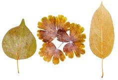 Foglie dell'albicocca, del fiore e della mela Fotografie Stock