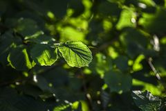 Foglie dell'alnus sotto il sole in foresta, ora legale, Polonia Immagini Stock