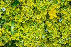 Foglie dell'arbusto del cespuglio dell'alloro o dello specchio della Nuova Zelanda Immagini Stock