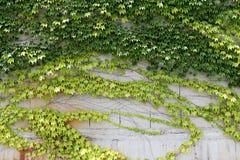 Foglie dell'edera che crescono su una parete Fotografia Stock