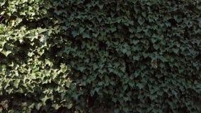 Foglie dell'edera europea, hedera helix, fluttuante nel vento archivi video