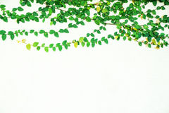 Foglie dell'edera isolate su fondo bianco Fotografia Stock Libera da Diritti