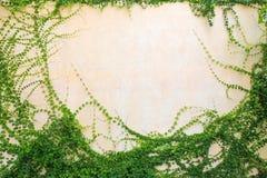 Foglie dell'edera su un fondo bianco Fotografia Stock Libera da Diritti