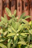 Foglie dell'erba prudente della pianta, salvia in orto immagine stock libera da diritti