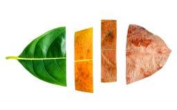 Foglie dell'età differente dell'albero della giaca su backg di legno bianco Fotografia Stock Libera da Diritti