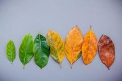 Foglie dell'età differente dell'albero della giaca su fondo grigio a Fotografie Stock Libere da Diritti