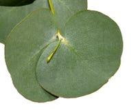 Foglie dell'eucalyptus Fotografie Stock Libere da Diritti