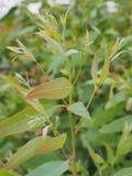 Foglie dell'eucalyptus Immagini Stock Libere da Diritti