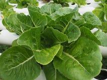 Foglie dell'insalata Immagine Stock
