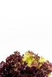 Foglie dell'insalata, lattuga di foglia rossa Fotografie Stock