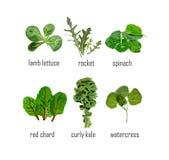 Foglie dell'insalata verde nei vettori Fotografie Stock Libere da Diritti