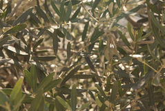 Foglie dell'oliva Fotografia Stock